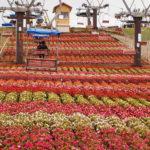 茶臼山高原天空の花畑・愛知と長野の県境・高原ハイキングと絶景を楽しむ